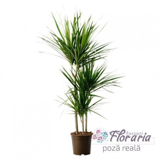 Dracaena Marginata 3 potted stems