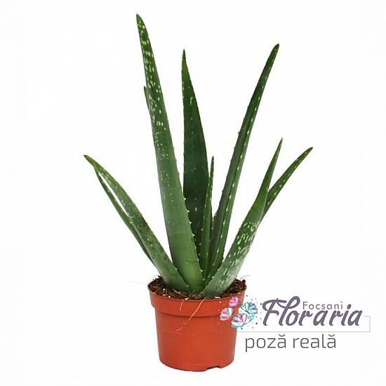 Aloe Vera in pots