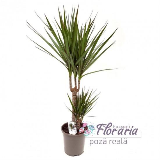 Dracaena Marginata with 2 cm stems in pots