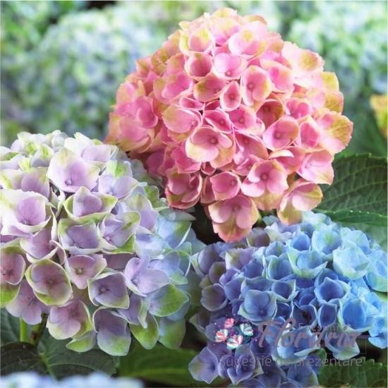 Bouquet of Hydrangea at Fir